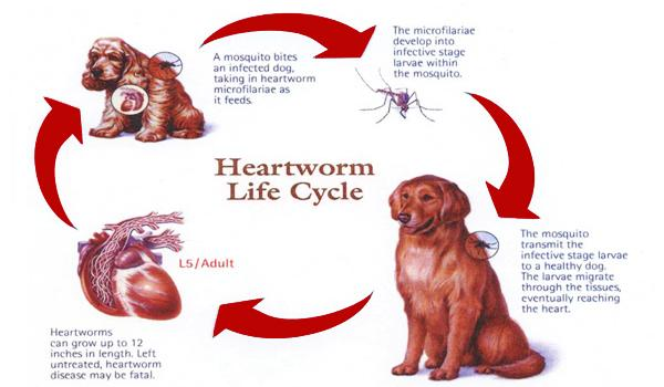 Heartworms and your pet