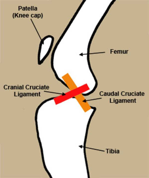 CRANIAL CRUCIATE LIGAMENT REPAIR